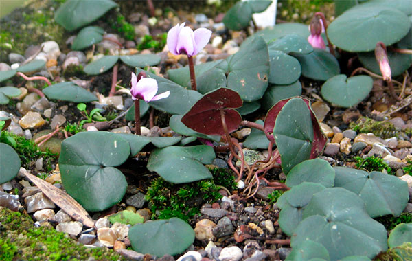 Cyclamen parviflorum