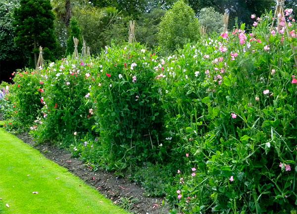 plantas cheirosas jardimervilhadecheiro precisa de suportes para