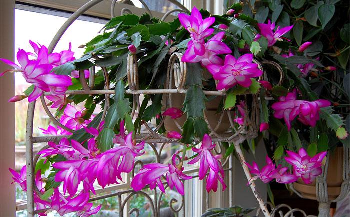 plantas jardim flores:Vaso suspenso com flor-de-maio ou flor-de-seda