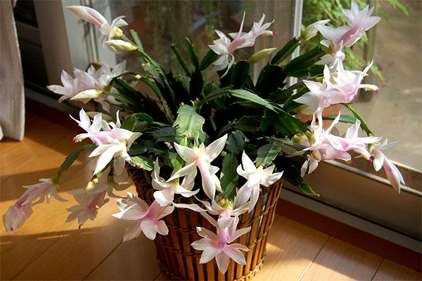 Resultado de imagem para flores Flor de maio
