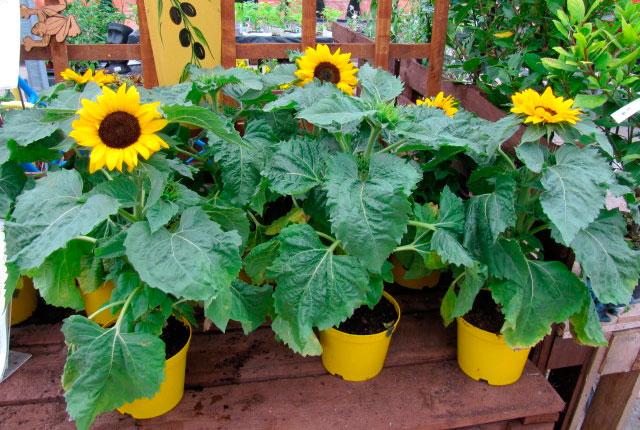 roubo de anao de jardim:Os cultivares de pequeno porte, conhecidos como girassóis-anões