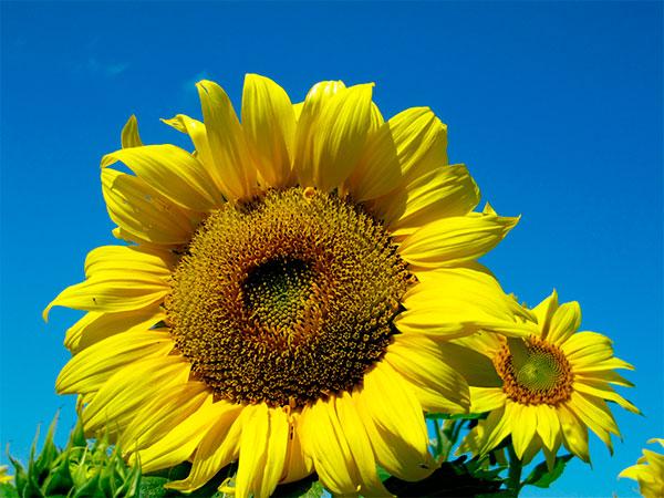 girassol anao de jardim:Para obter inflorescências grandes, além de escolher sementes de um