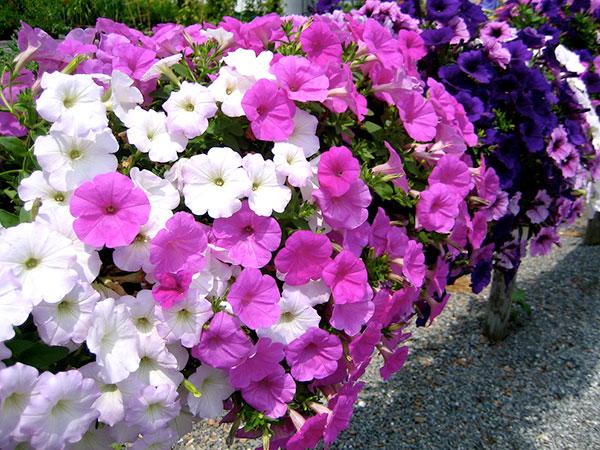 Flores de petúnia