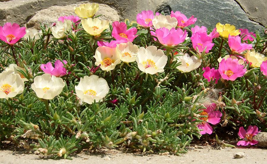 bordaduras suas flores quase permanentes atraem beija flores e
