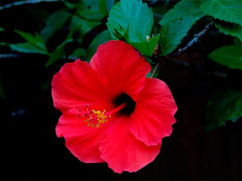 Hibisco ou Hibisco-da-china